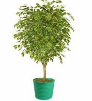 Green Potted Ficus Tree