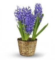 Heavenly Hyacinth Plant
