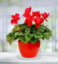 Holiday Cyclamen Plant
