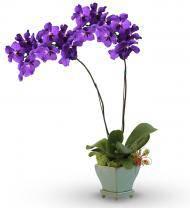 Indigo Orchid Plant