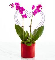 It Takes Two Valentine's Day Orchid
