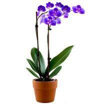 Lavender Orchid Plant - Farm Fresh