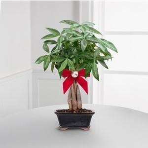 Peace & Prosperity Braided Money Tree