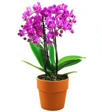 Flowers: Pink Orchid Phalaenopsis Plant