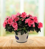 Pretty Potted Pink Azalea