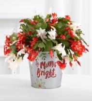 Red & White Christmas Cactus