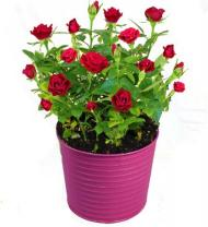 Rosey Day Rose Plant - Farm Fresh