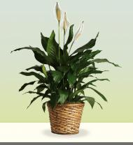 Spathiphyllum in a Basket