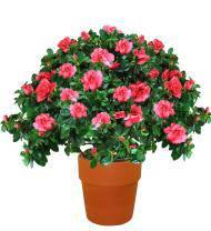 Splendid Azalea Planter