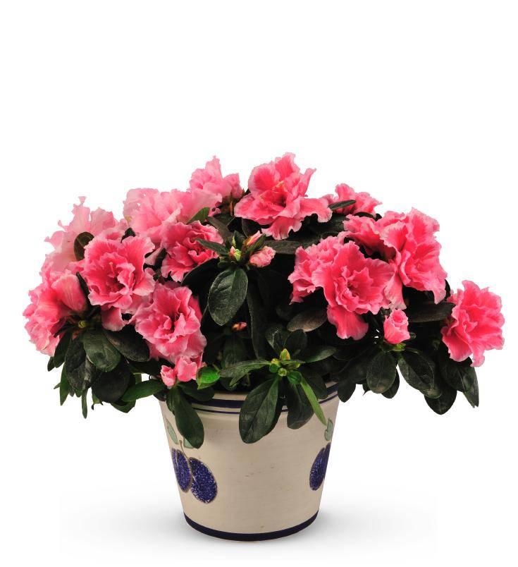 Sympathy Pink Azalea Planter