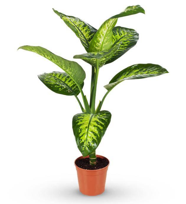 Sympathy Dieffenbachia Plant