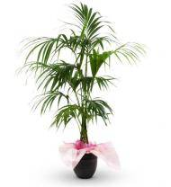 Sympathy Palm Plant