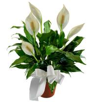 Sympathy Peace Lily Plant