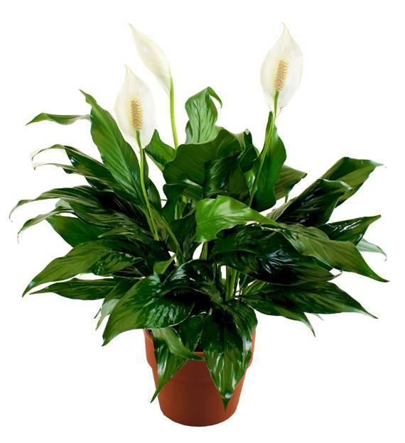 Sympathy Peace Lily Plants