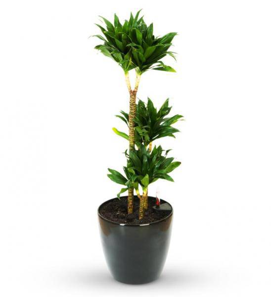 Green Potted Sympathy Plant - Deluxe
