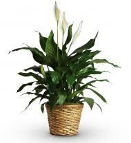 Sympathy Spathiphyllum in a Basket