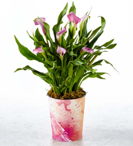 Tell It to My Heart Valentine's Day Calla Lily Plant