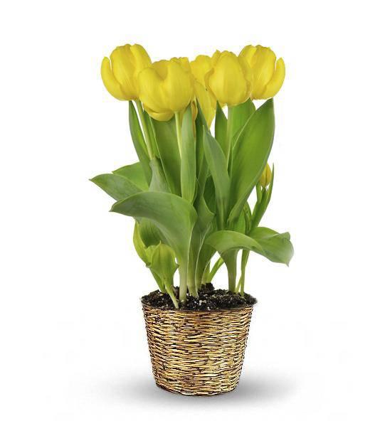 Tulip Plant - Farm Fresh