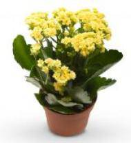 Vibrant Kalanchoe Planter - Farm Fresh