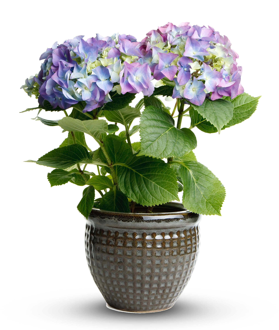 Spring Hydrangea Planter
