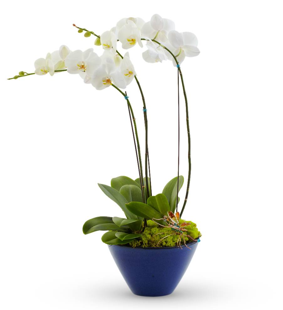 White Orchid Plant-Double Stem