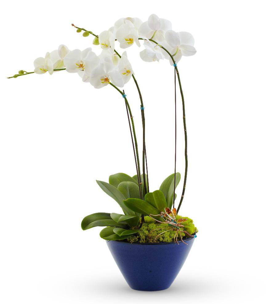 White Orchid Flower Plant White Orchid Plant