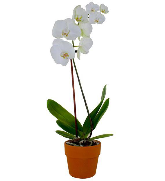 White Orchid Flower Plant White Orchid Plant Click on