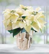 White Poinsettia Plant