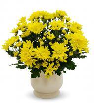 Yellow Mum Plant