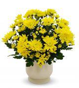 Yellow Mum Plant