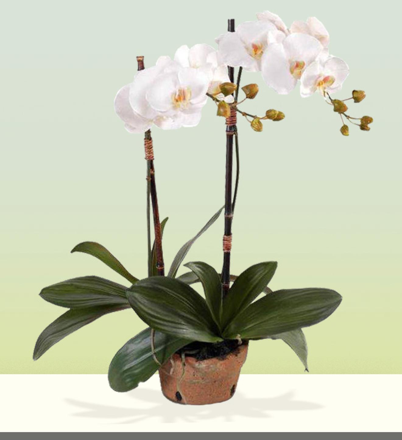 Zen Orchid Sympathy Plant