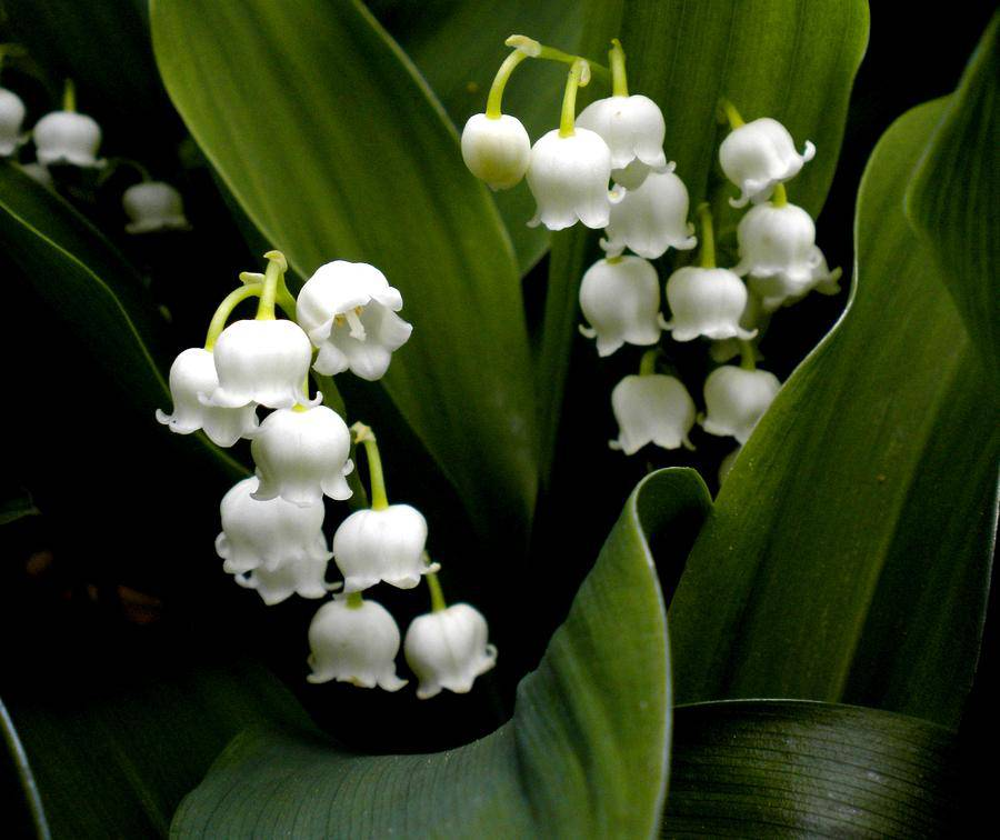 Lily Of The Valley And Bouquet