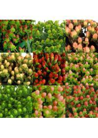Hypericum (Hypericaceae)