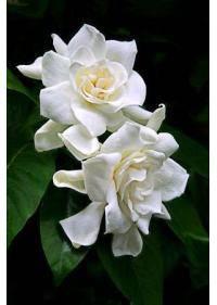 Gardenia (Rubiaceae)