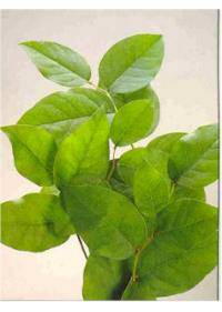 Salal-Lemon Leaf (Ericaceae)