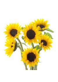 Sunflower (Helianthus Annuus or Asteraceae)