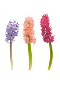 Hyacinth (Asparagaceae)