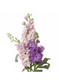 Stock-Matthiola (Brassicaceae)