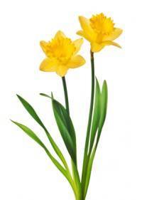 Daffodil (Amaryllidaceae)