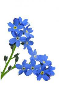 Forget Me Nots (Boragninaceae)