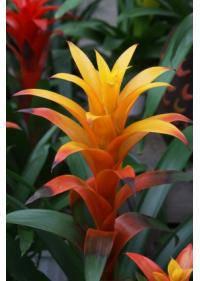 Bromeliad (Bromeliaceae)