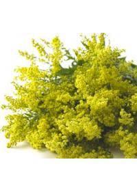 Solidago (Asteraceae)