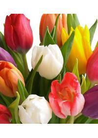 Tulip-Tulipa (Liliaceae)