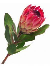 Protea (Cynaroides)