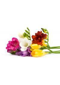 Freesia (Iridaceae)