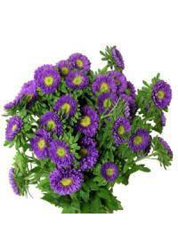Aster (Asteraceae)