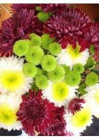 Chrysanthemum (Asteraceae)