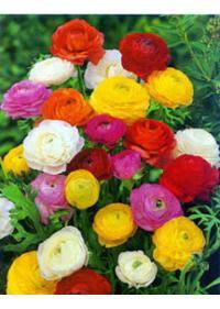 Ranunculus (Ranunculales)
