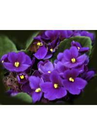 Violet-Viola (Violaceae)