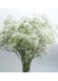 Baby's Breath (Gypsophila)